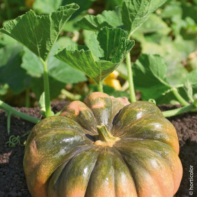 Courge Musquée Muscade