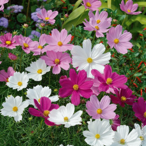 Cosmos Sensation in mix