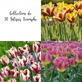 Collezione 30 Tulipani Trionfo
