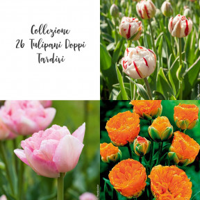 Collezione 26 Tulipani Doppi Tardivi