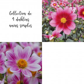 Collection de 4 dahlias nains simples