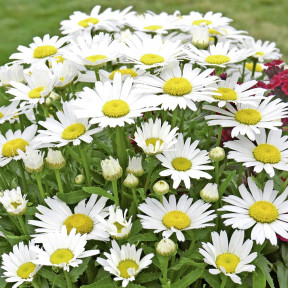Marguerite (Leucanthemum Little Princess)