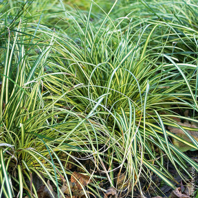 GRAMINEE CAREX EVERGOLD
