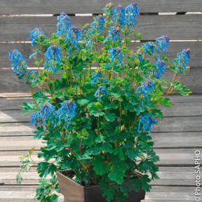 Corydalis Blue Line