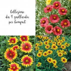 Collezione da 9 gaillardie per bouquet