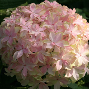 Hortensia macrophylla YOU AND ME® Inspire