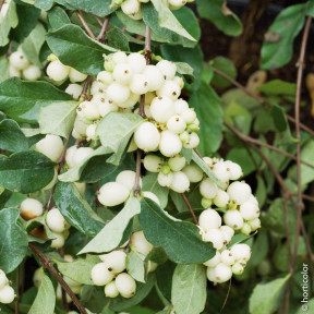 Symphoricarpos Albus White Hedge La Pianta