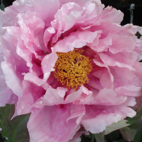 Peonia Arbustiva High Noon