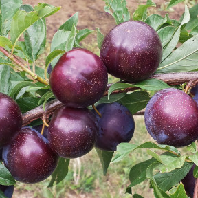 PLUOT PURPLE CANDY ®