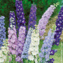 Delphinium Magic Fountains en mélange