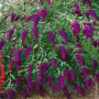 BUDDLEIA NAIN NANHO PURPLE