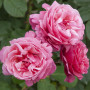 Rosa LINE RENAUD ® Meiclusif