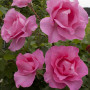 Rosa THE Mc CARTNEY ROSE ® Meizeli