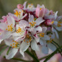 Choisya ternata Apple Blossom
