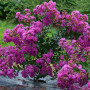 Lagerstroemia INDIYA CHARMS ® VIOLET D'ETE ® 'Indyvio'