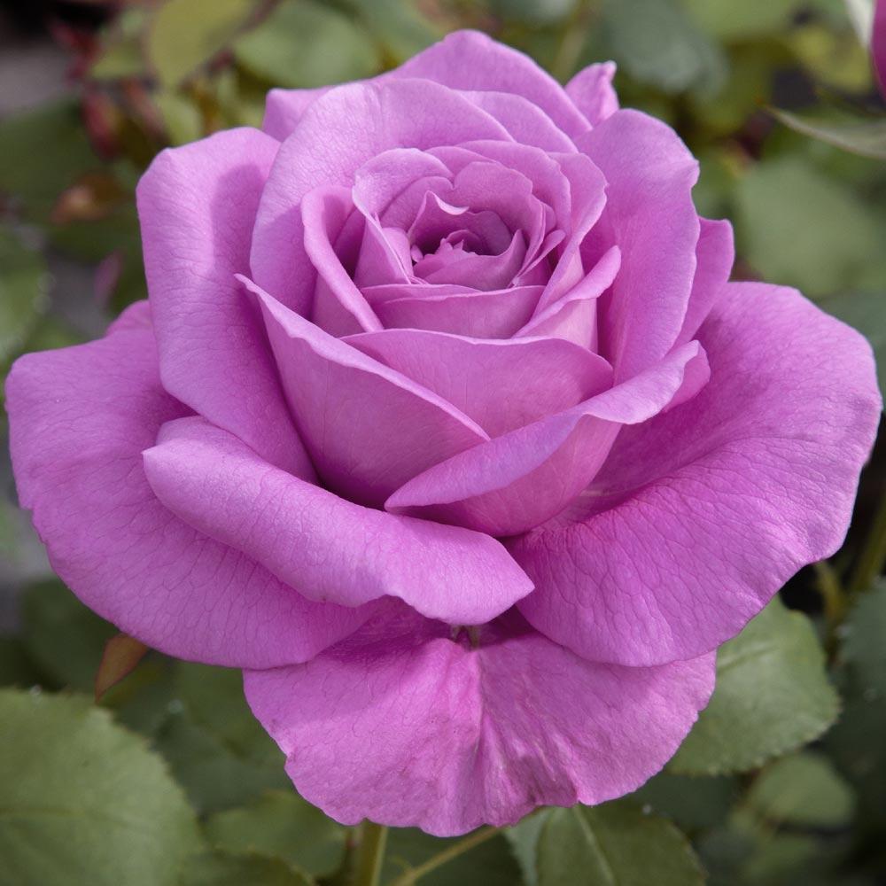 Confezione Delle Rose