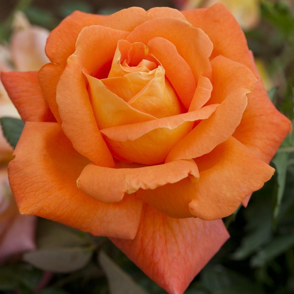 Combattere Afidi Delle Rose manutenzione delle rose