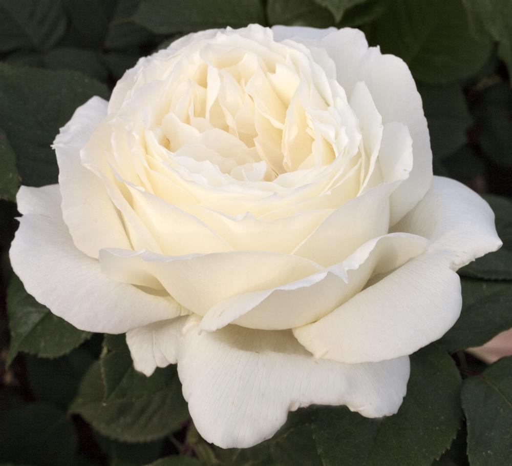 Piante Di Rose Rampicanti potatura delle rose