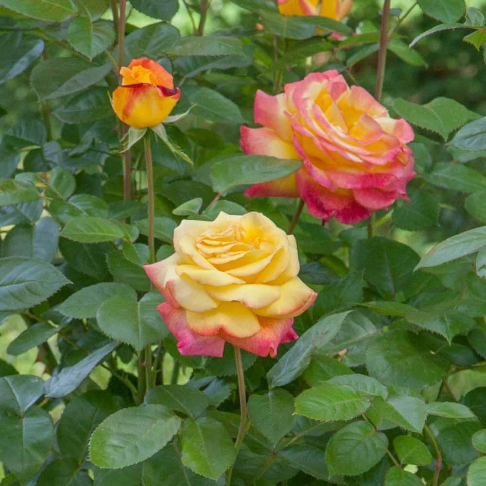 Fiori Da Balcone Ombra coltivare le rose in vaso, balconi, terrazze