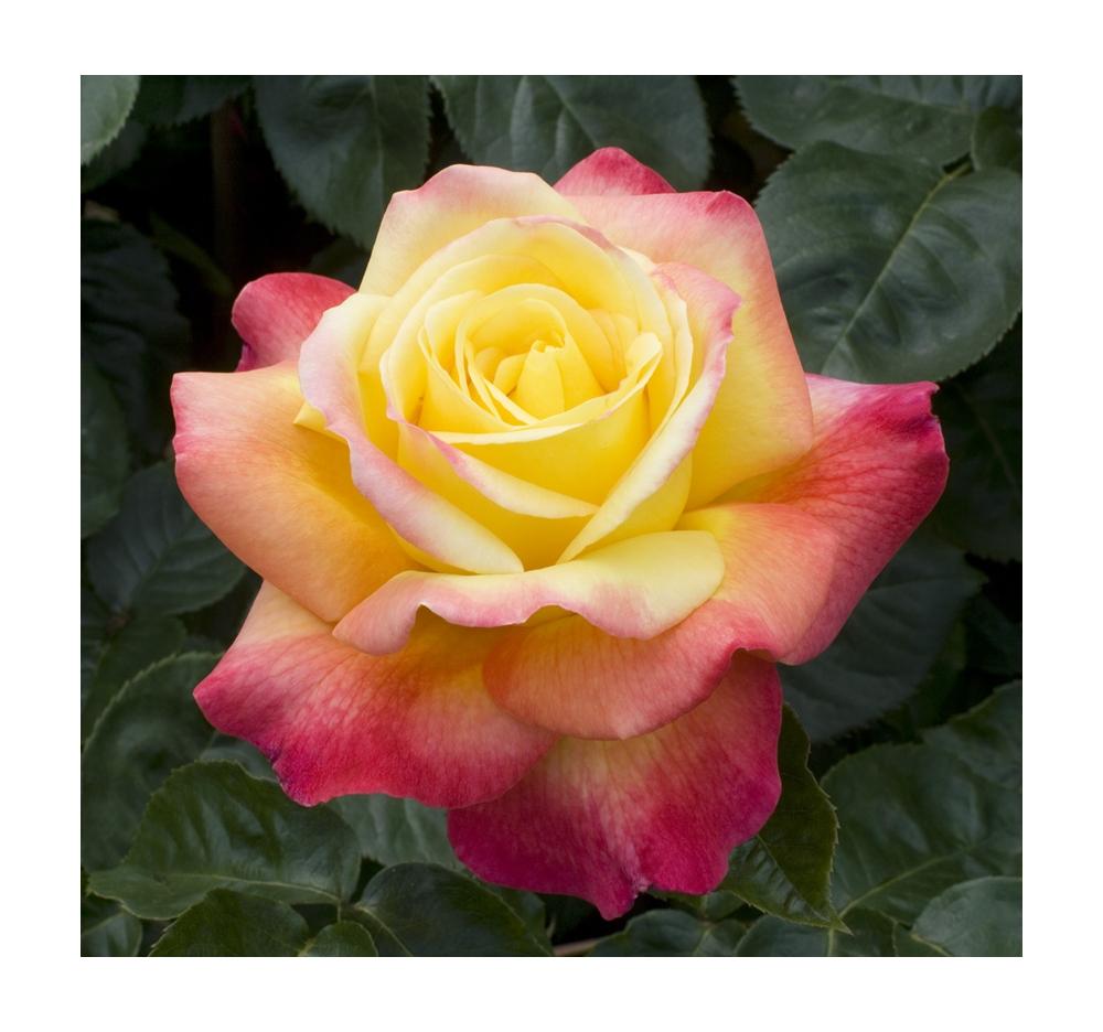 Coltivare le rose in vaso balconi terrazze for Roselline in vaso