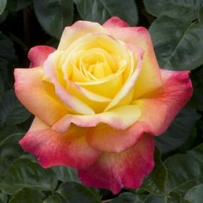 coltivare le rose in vaso balconi terrazze. Black Bedroom Furniture Sets. Home Design Ideas