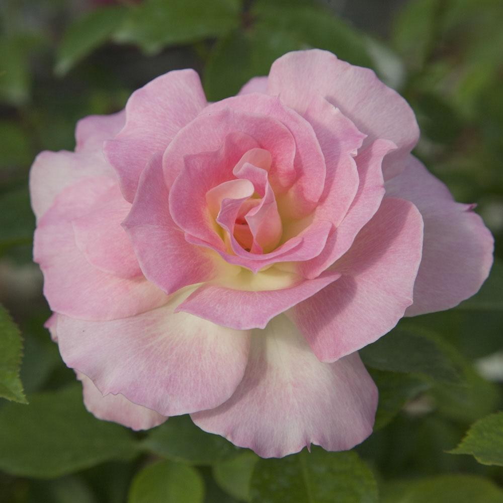 Messa a dimora delle rose for Rose piante