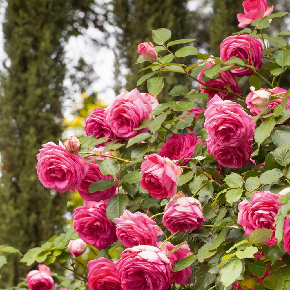 Tutori Per Rose Rampicanti messa a dimora delle rose rampicanti