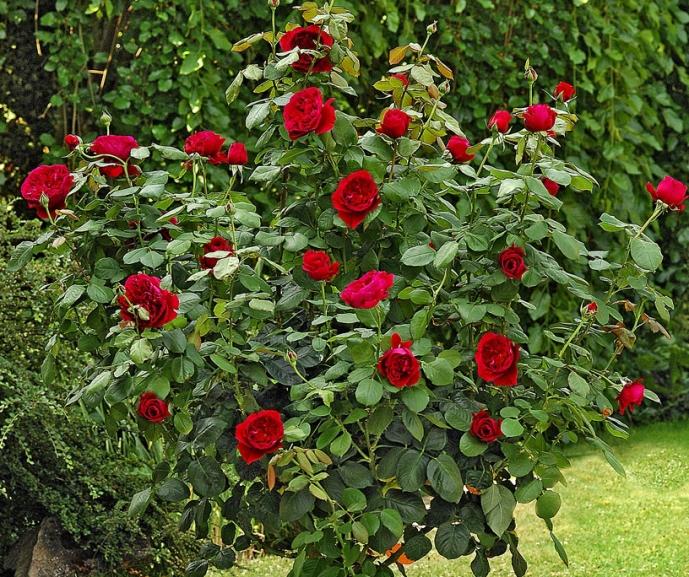 Rosa a mezzo alberello jubil du prince de monaco for Arbusti ad alberello