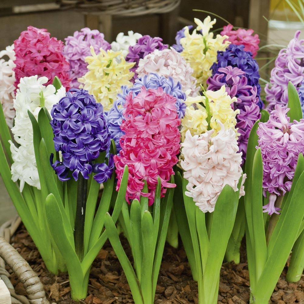 Piantare I Bulbi Di Tulipani giacinti