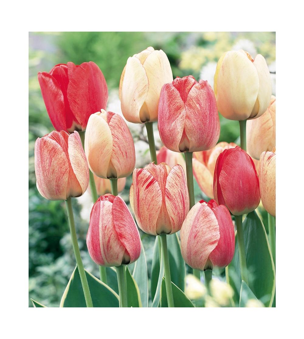 Piantare I Bulbi Di Tulipani tulipani