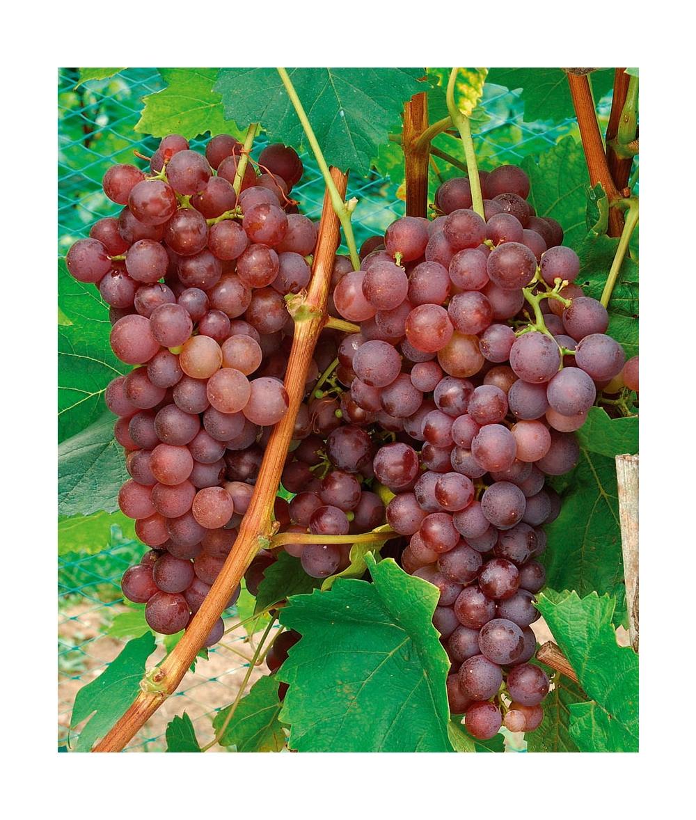 Viti da tavola consigli di messa a dimora potatura e manutenzione - Potatura uva da tavola ...