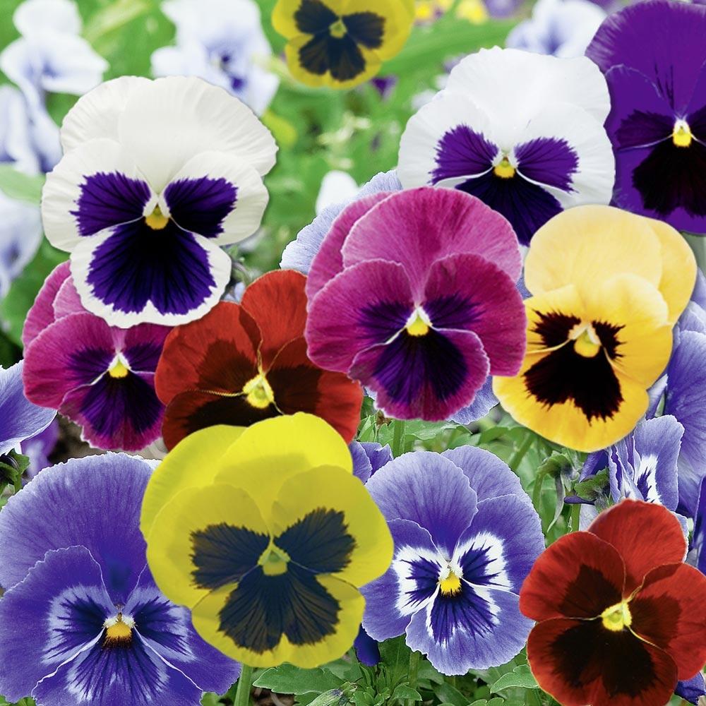 Rampicanti Che Crescono All Ombra viola del pensiero e viola cornuta : consigli di piantagione