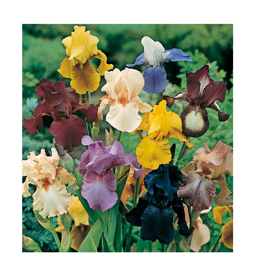 Rampicanti Che Crescono All Ombra iris : consigli di messa a dimora, potatura e manutenzione