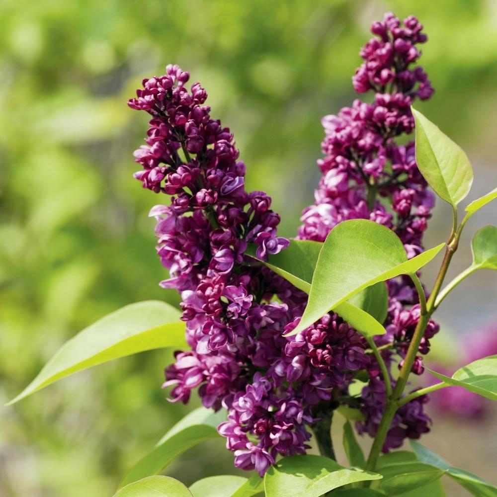 Come Seccare Le Piante lillà : consigli di messa a dimora, potatura e manutenzione