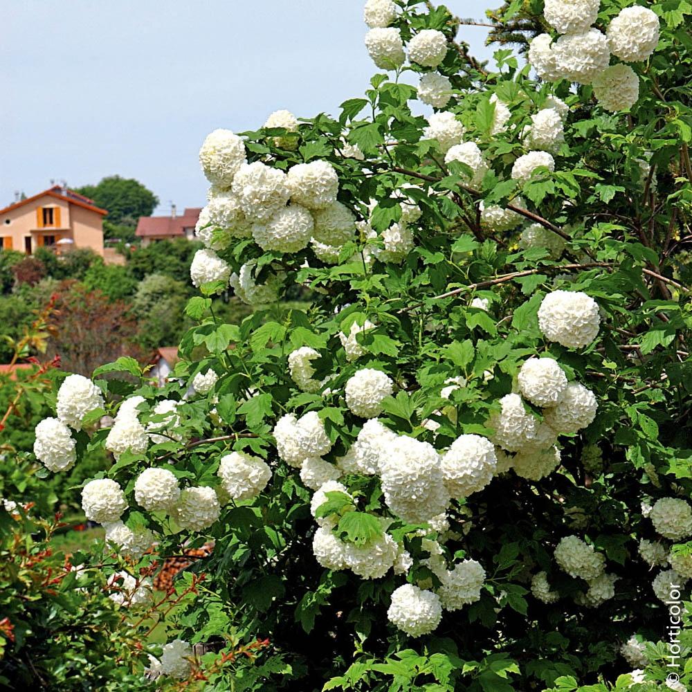 Piante Basse Da Aiuola arbusti : create la vostra siepe