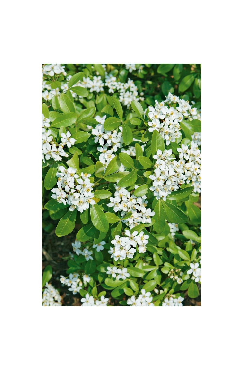 Cespugli Sempreverdi Con Fiori arbusti : consigli di messa a dimora