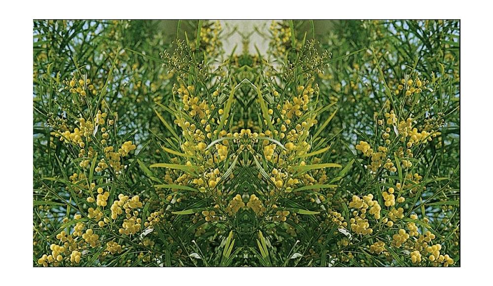 Mimosa Consigli Di Messa A Dimora Potatura E Mantenimento