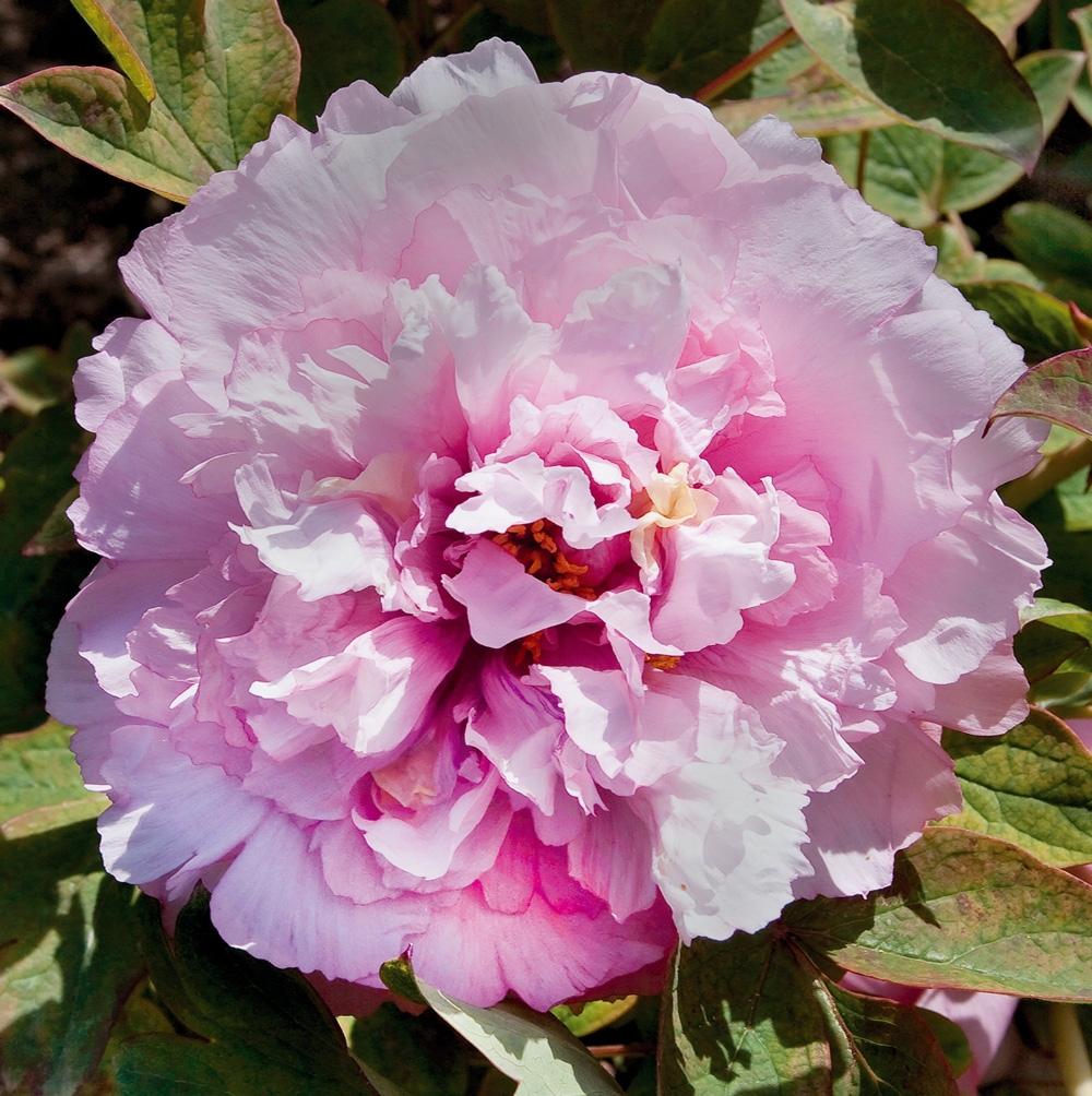 Fiori Da Giardino In Montagna peonie : tutti i nostri consigli di messa a dimora, potatura