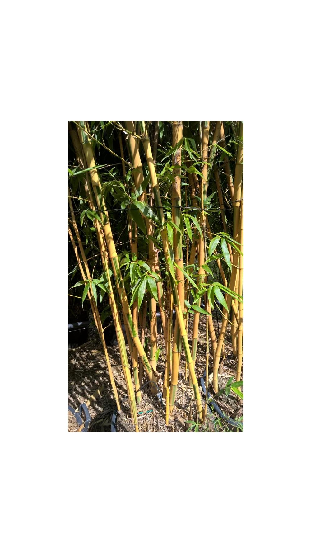 Bambù : consigli di messa a dimora, potatura e mantenimento