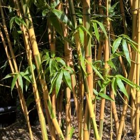 Variet Di Bamb.Bambu Consigli Di Messa A Dimora Potatura E Mantenimento