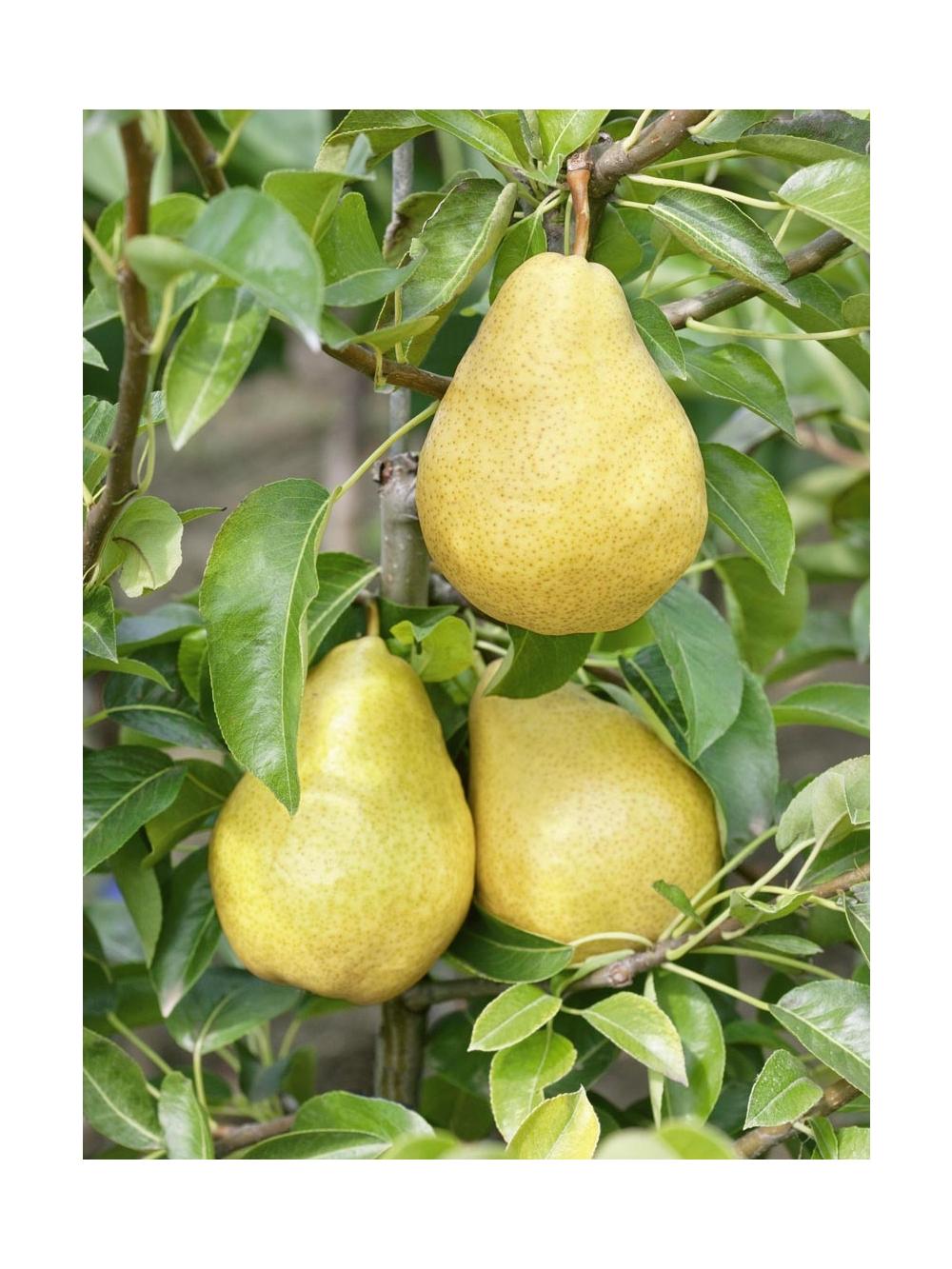 Alberi Nani Da Giardino manutenzione degli alberi da frutto