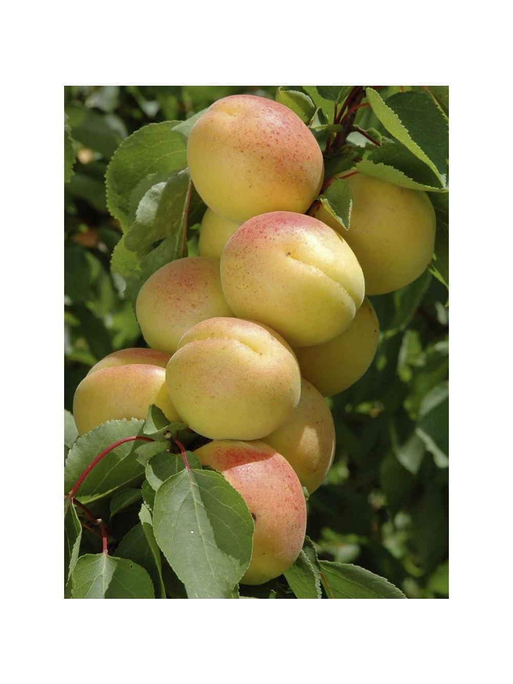 Alberi da frutto consigli di coltivazione for Piante da frutto a 1000 metri