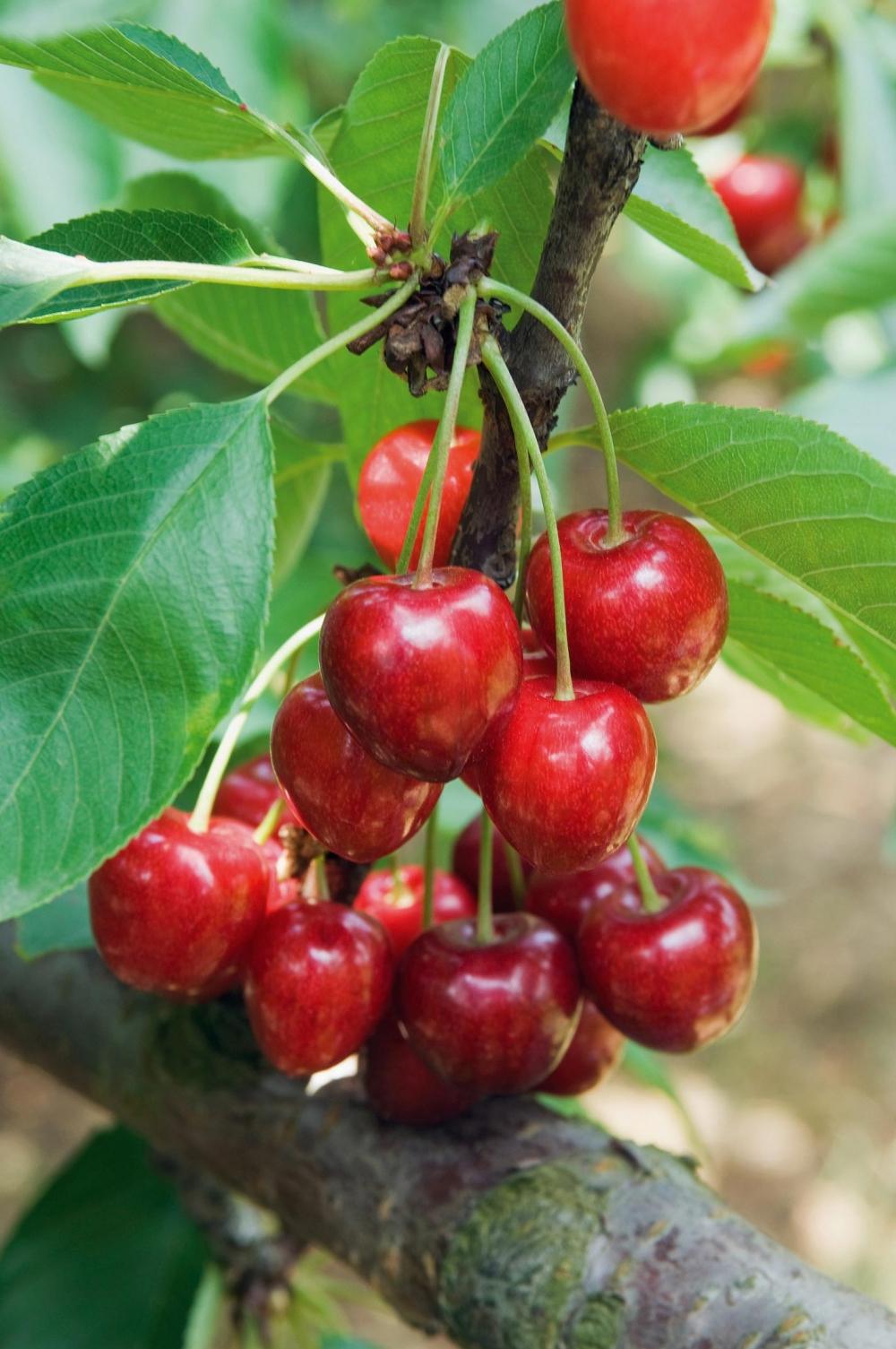 Alberi da frutto quale forma scegliere for Alberi da frutto