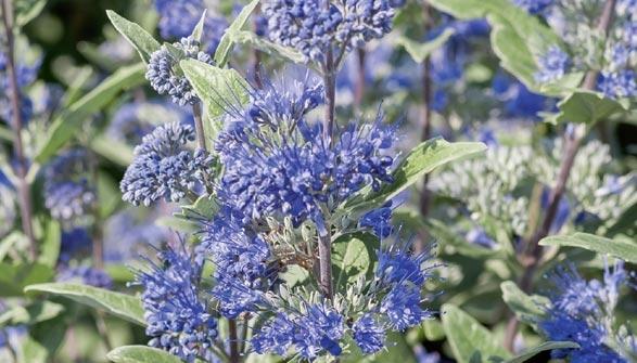 Arbusti consigli di messa a dimora for Cespugli sempreverdi fioriti